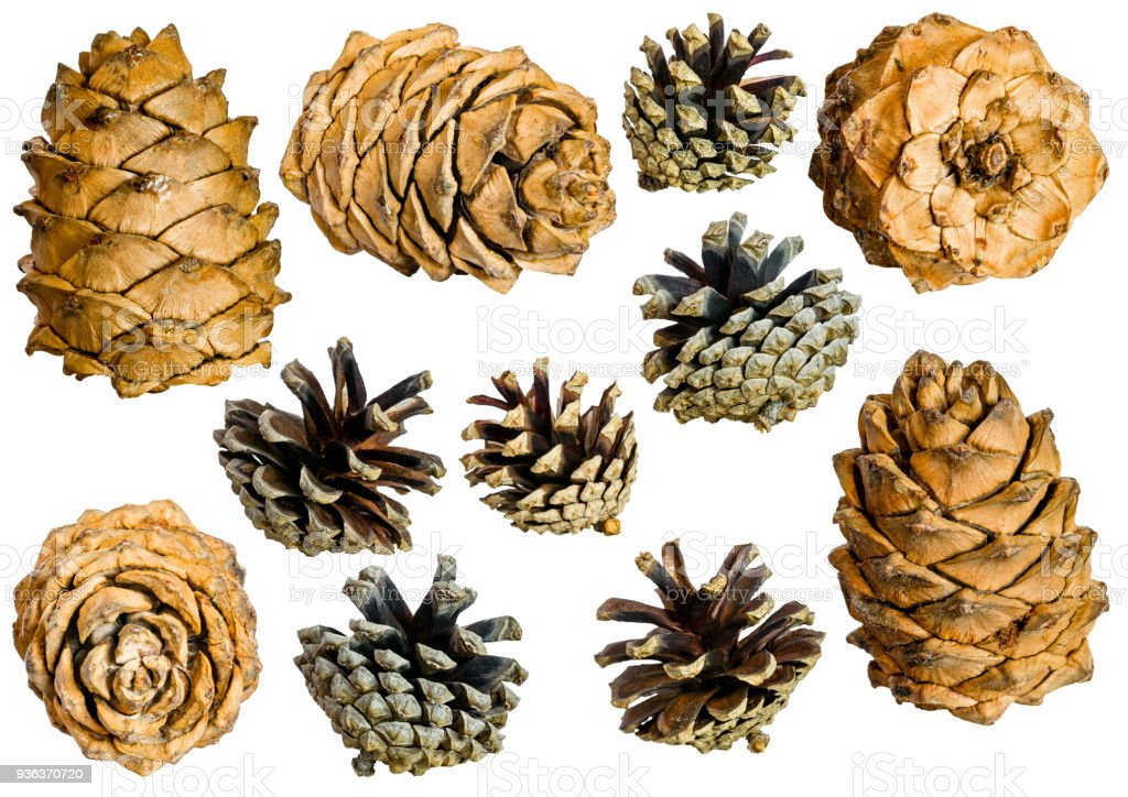 Set of cones various coniferous trees isolated on white stock photo
