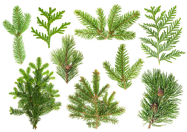 Set of coniferous tree branches. Spruce, pine, thuja, fir stock photo
