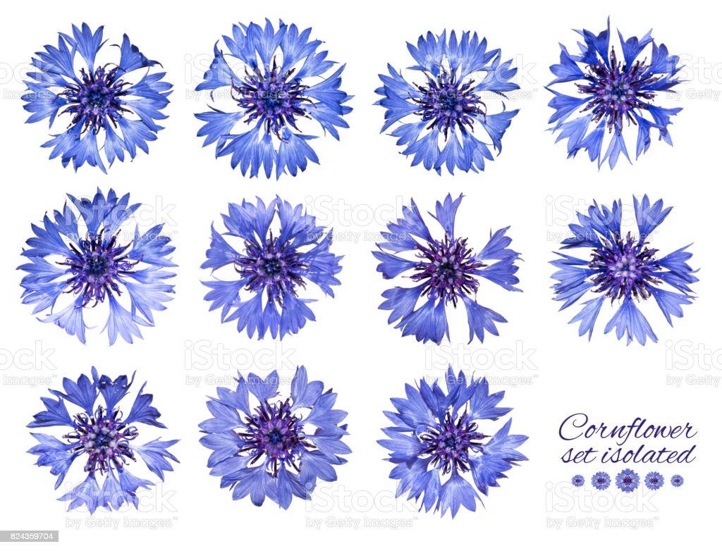 Ensemble de bleuets isolé. Fleurs bleues. - Photo