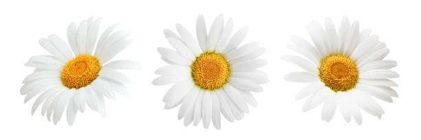 Set of daisy flower isolated on white background picture id939590500?b=1&k=6&m=939590500&s=612x612&w=0&h=gtx6iocsog  kkbckubujqhpljm8ujj1ufpduxtdw7c=