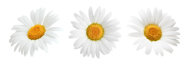 Set of daisy flower isolated on white background Set of daisy flower isolated on white background as package design element flower part stock pictures, royalty-free photos & images