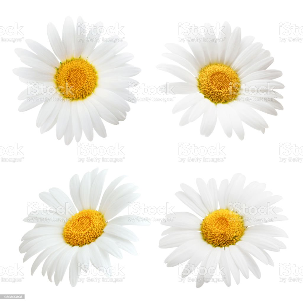 Set Of Daisy Flower Isolated On White Background Stock Photo More
