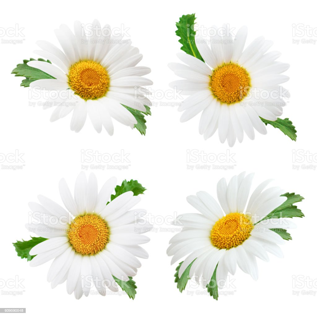 Set Of Daisy Flower With Leaves Isolated On White Background Stock