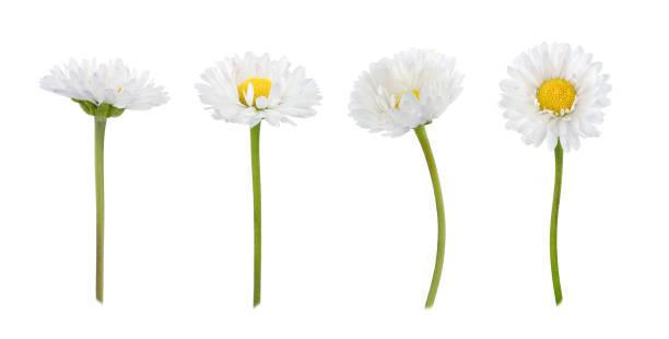 set madeliefjebloemen geïsoleerd op een witte - madeliefje stockfoto's en -beelden
