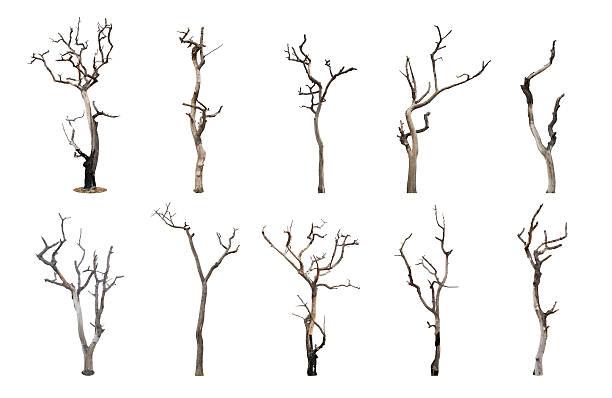 Ensemble de l'arbre mort isolé sur fond blanc - Photo