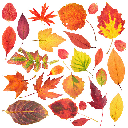 istock Set of different bright autumn leaves isolated on white background 864797840