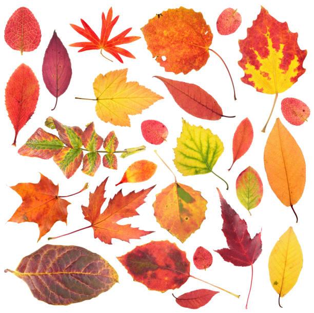 conjunto de diferentes hojas de otoño brillantes aislado en fondo blanco - fall leaves fotografías e imágenes de stock