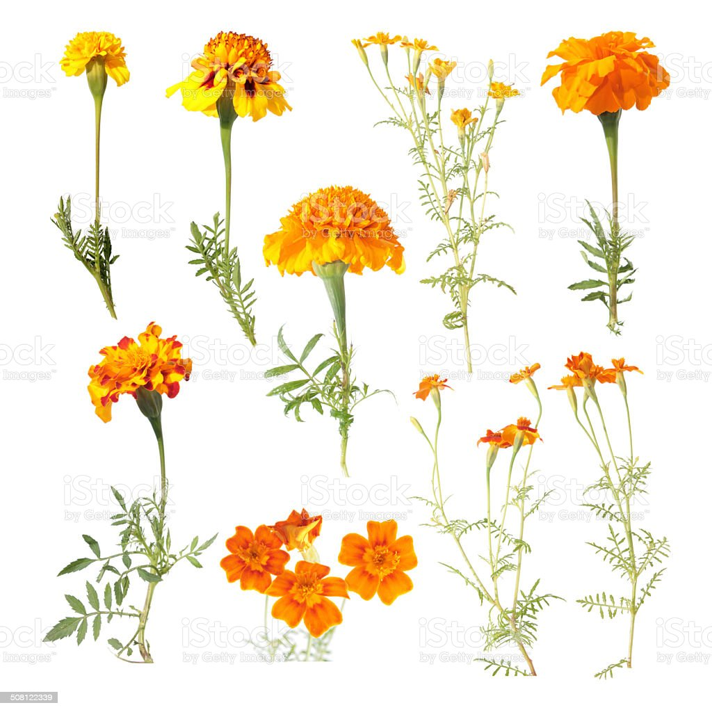 Set of different marigold flowers isolated on white stock photo