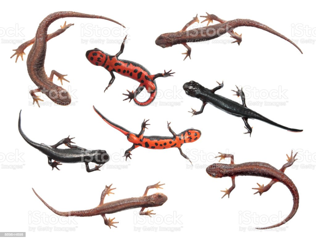 Set of different species of newts isolated on white background. Common newt (Lissotriton vulgaris) and Japanese fire belly newt (Cynops pyrrhogaster) stock photo