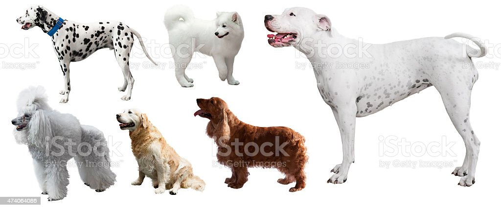 Set of Dogo Argentino and other dogs stock photo