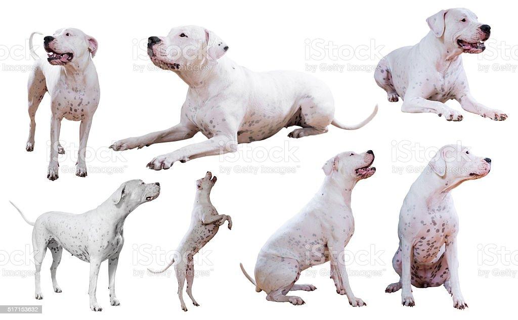Set of Dogo Argentino stock photo