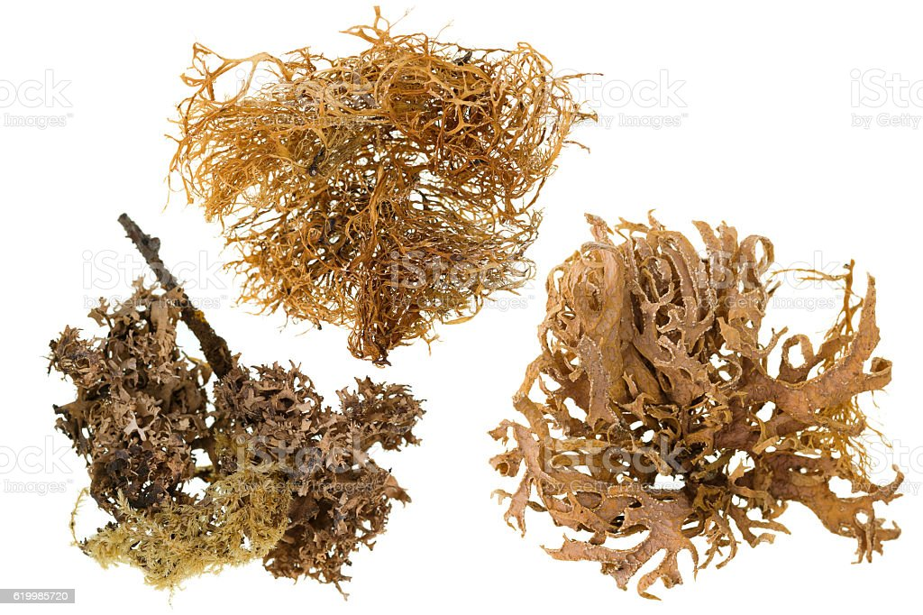 Set of dried lichen in brown isolated on white stock photo