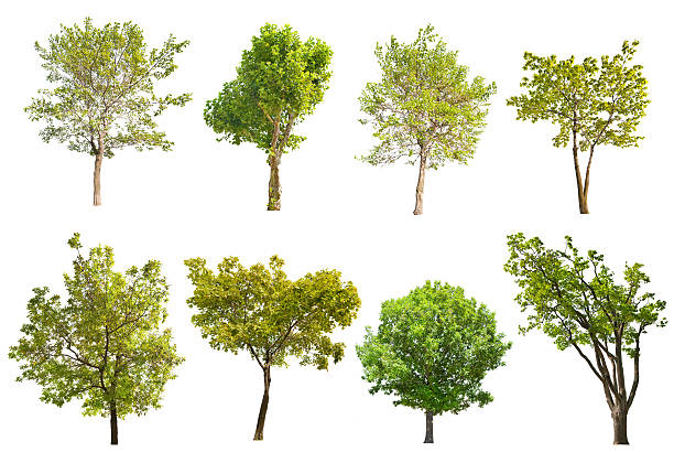 set of eight green trees isolated on white set of eight green trees isolated on white background sycamore tree stock pictures, royalty-free photos & images