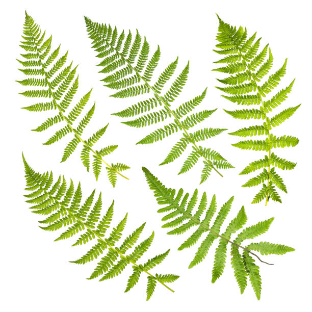 set van fern bladeren geïsoleerd op een witte achtergrond. - varen stockfoto's en -beelden
