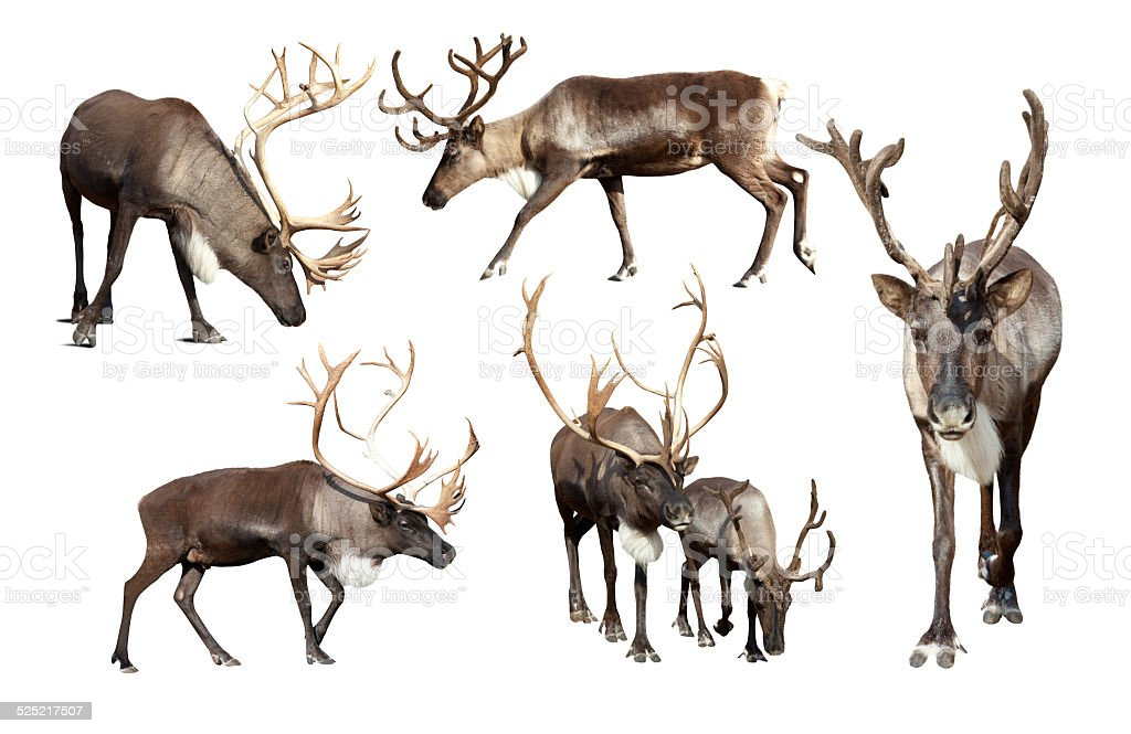 Set of few reindeer stock photo