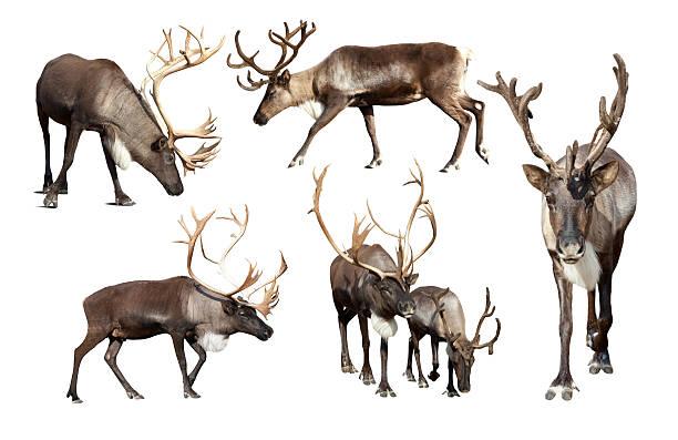 Set of few reindeer stock photo