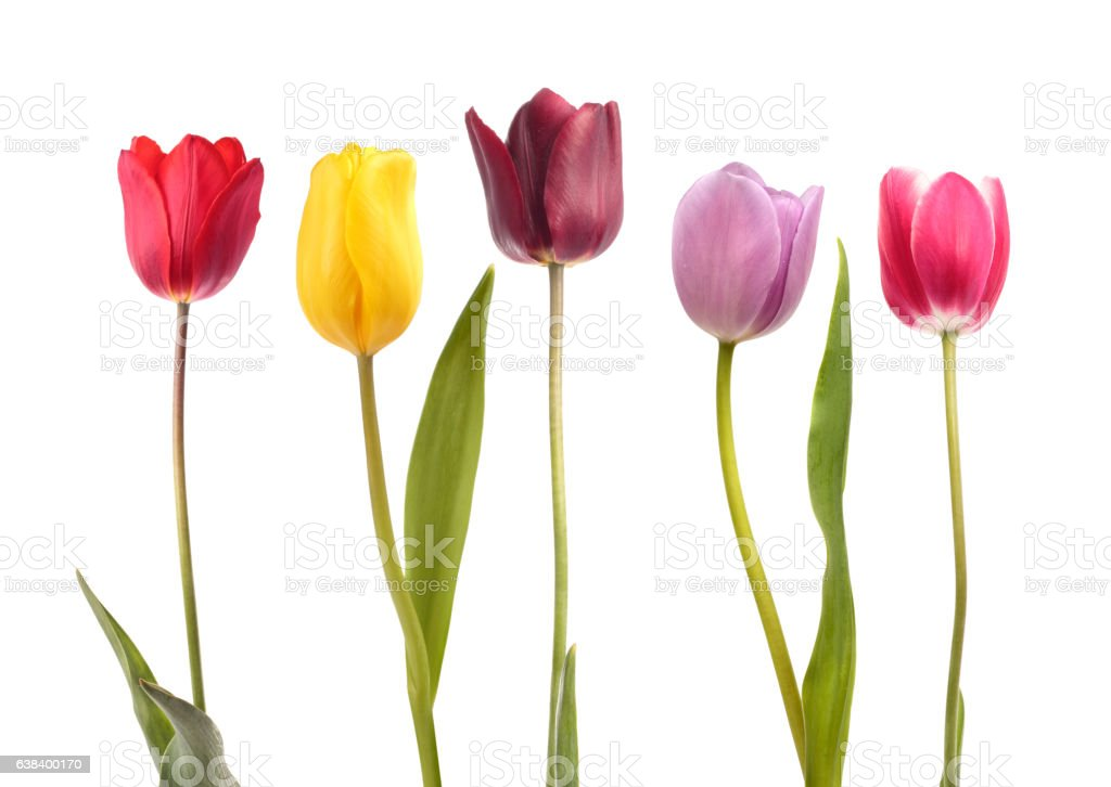 Set of five different color  tulips stock photo