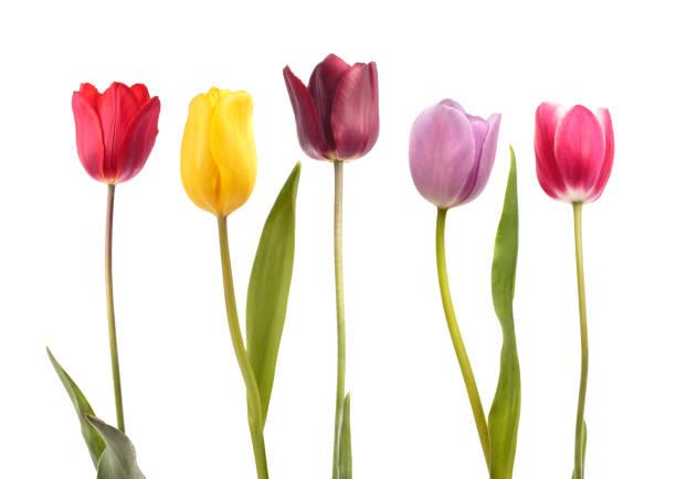 set of five different color  tulips - tulipany zdjęcia i obrazy z banku zdjęć