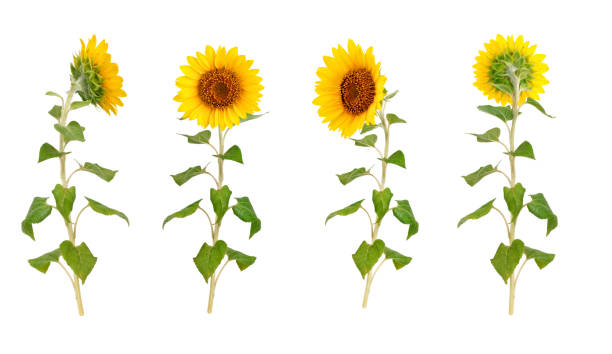 set of flowers of a sunflower on a white background - sunflower стоковые фото и изображения