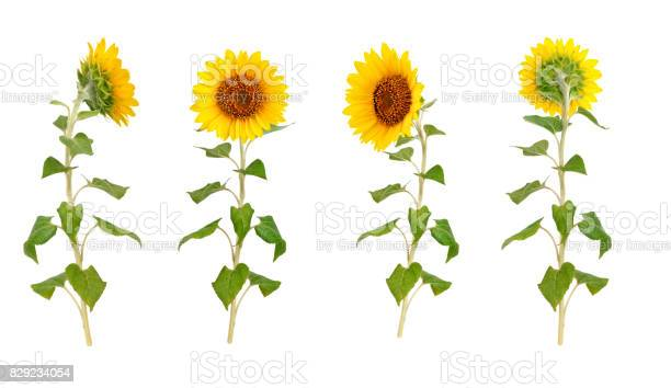 Photo of Set of flowers of a sunflower on a white background