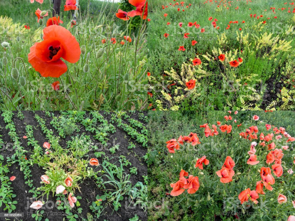 A set of four agriculture photos of the poppies that grew on the field and dried up from weed control means stock photo