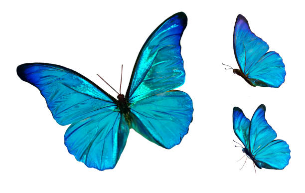 Set of four beautiful blue butterflies Cymothoe excelsa isolated on white background. Butterfly Nymphalidae with spread wings and in flight. Set of four beautiful blue butterflies Cymothoe excelsa isolated on white background. Butterfly Nymphalidae with spread wings and in flight. butterfly stock pictures, royalty-free photos & images