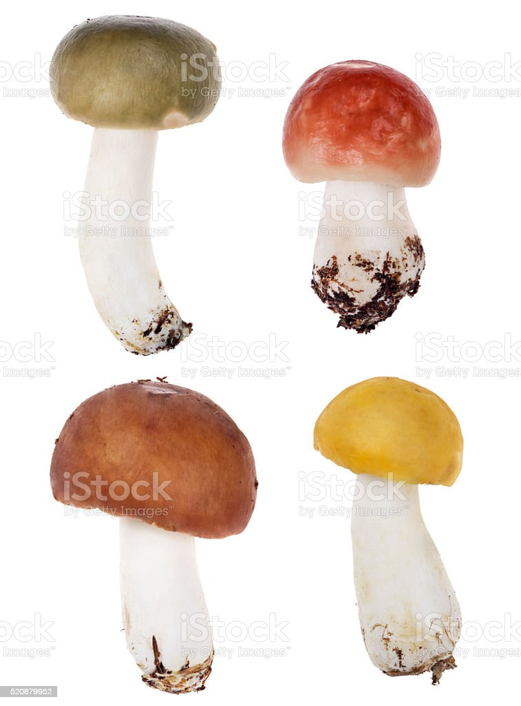 set of four color russula mushrooms isolated on white stock photo