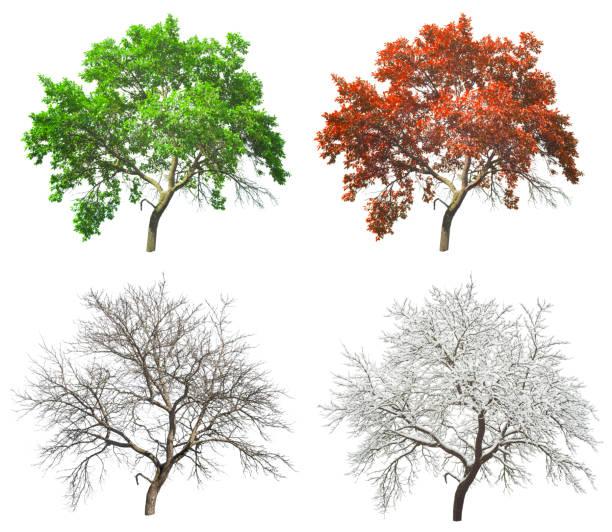 set of four seasons tree isolated - four seasons zdjęcia i obrazy z banku zdjęć