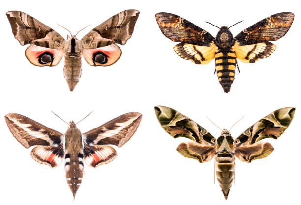 Set of four Sphingidae hawk-moths Set of four Sphingidae hawk-moths night moths - Smerinthus ocellatus, Daphnis neri, Hyles gallii, Acherontia atropos isolated on white dorsal surface stock pictures, royalty-free photos & images