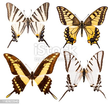 Set of four swallowtail butterflies - Iphiclides podalirius, Protesilaus protesilaus, Papilio machaon and Papilio thoas isolated on a white background