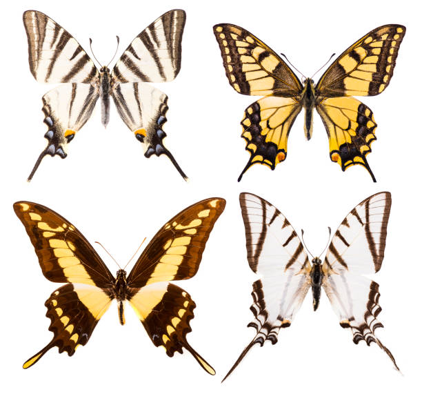 Set of four swallowtail butterflies isolated Set of four swallowtail butterflies - Iphiclides podalirius, Protesilaus protesilaus, Papilio machaon and Papilio thoas isolated on a white background dorsal surface stock pictures, royalty-free photos & images