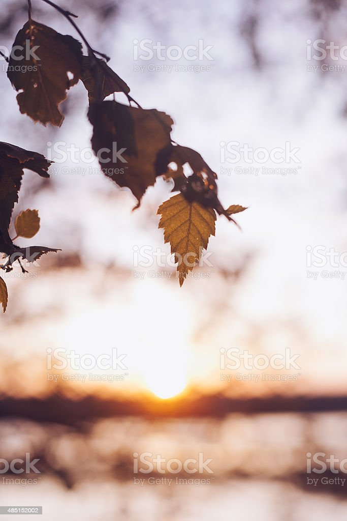 Set of fresh birch leaves in the sunset with stock photo