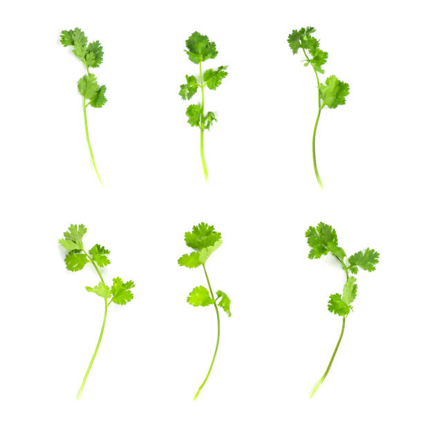 Set of fresh coriander leaves and branch isolated on white background. Set of fresh coriander leaves and branch isolated on white background. cilantro stock pictures, royalty-free photos & images