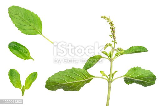 Set of fresh holy basil leaves isolated on white background with clipping path