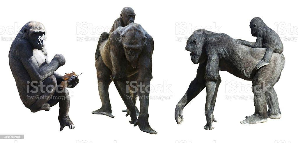 Set of gorillas. Isolated on white stock photo