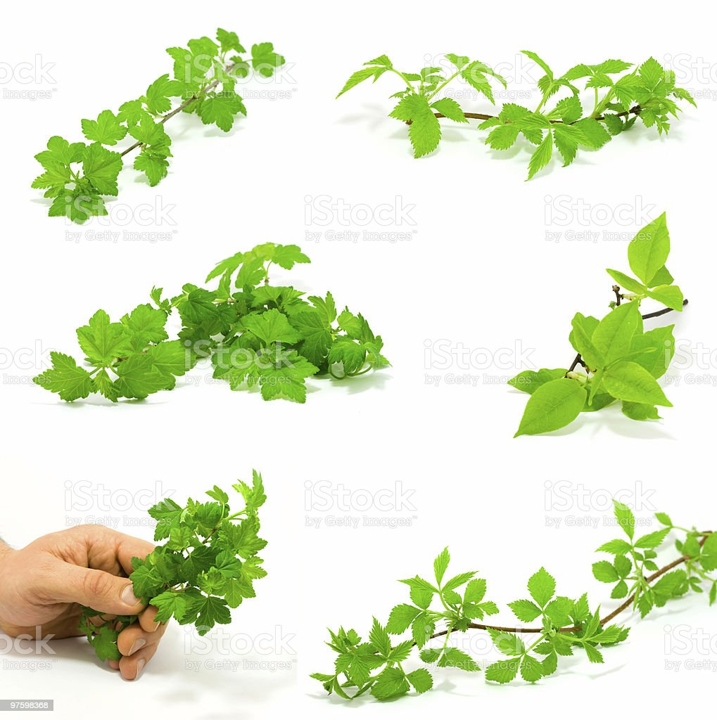 Set of green branches royalty-free stock photo