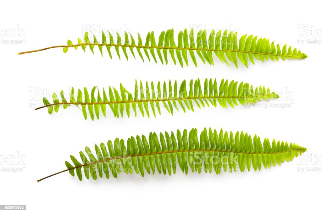 set of green fern leaves isolated on white background - Royalty-free Backgrounds Stock Photo