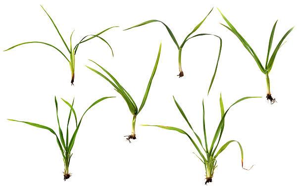 set di verde erbe isolato su bianco - filo d'erba foto e immagini stock