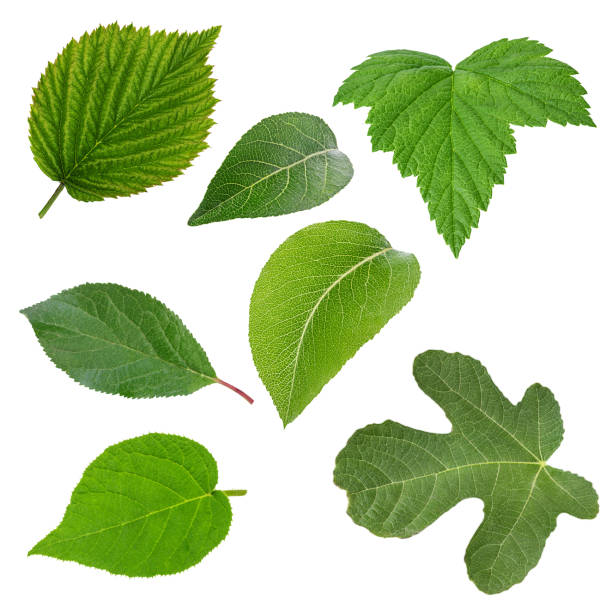 Set of green leaves isolated over white - foto stock