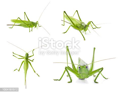Set of green locusts on white background