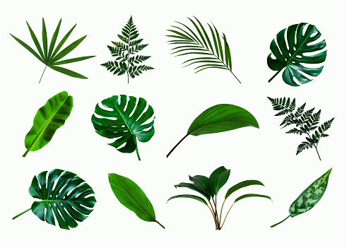 set of green monstera palm and tropical plant leaf isolated on white background