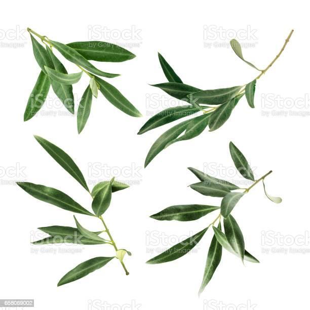 Set of green olive branch photos isolated on white picture id658069002?b=1&k=6&m=658069002&s=612x612&h=0nkiaam2fd3vak9bnnseiij9khc9h1yytuk4fq7 ttm=