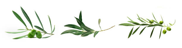 Set of green olive branch photos, isolated on white A set of three green olive branch photos, isolated on a white background olives stock pictures, royalty-free photos & images