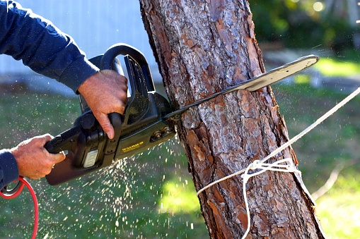An electric chainsaw is being used to cut down a tree that was killed by a hurricane in Florida.