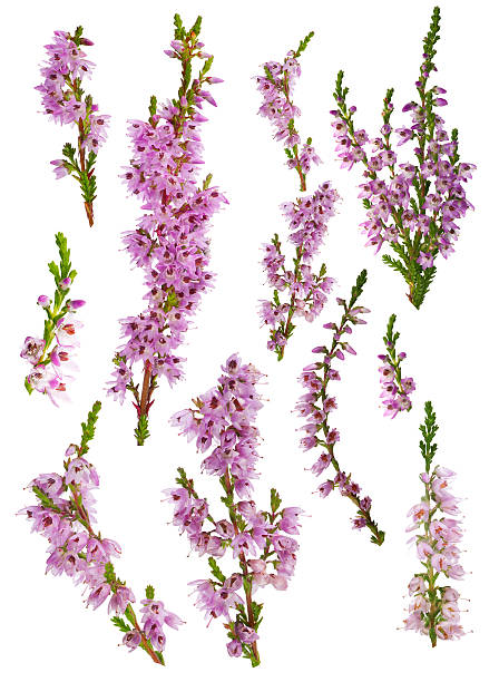 set of heather blossoms isolated on white set of heather blossoms isolated on white background heather stock pictures, royalty-free photos & images