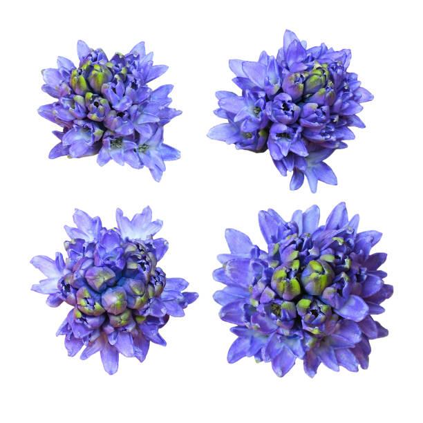 hycinth 꽃의 세트 - 히아신스 뉴스 사진 이미지