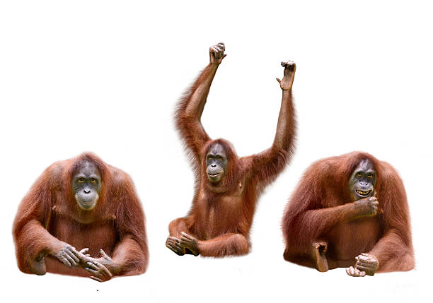 Set of image orangutan Set of image orangutan isolated over white background orangutan stock pictures, royalty-free photos & images