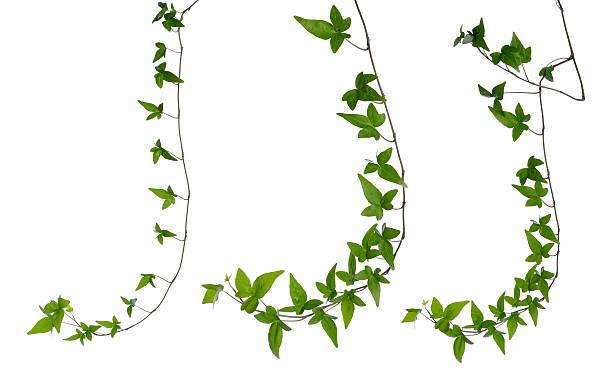 satz von efeu beine isoliert über weiß. - poison ivy pflanzen stock-fotos und bilder