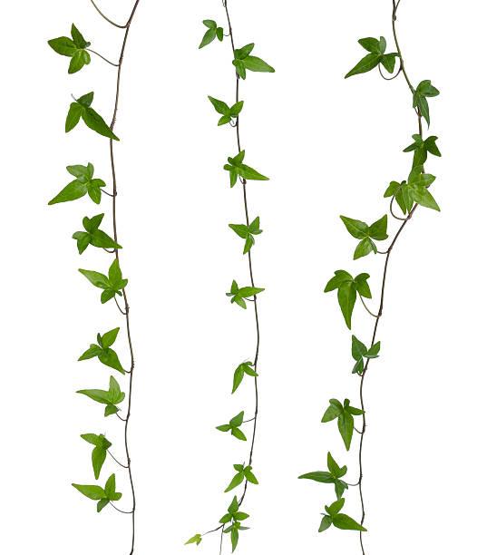 satz von efeu beine isoliert. - poison ivy pflanzen stock-fotos und bilder