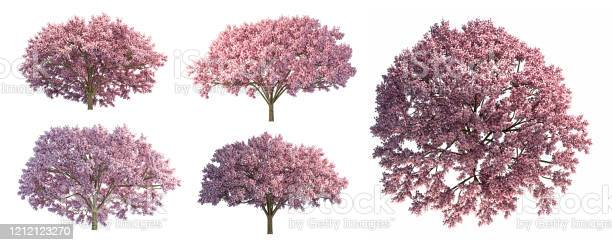 Photo of set of Japanese Full bloom pink cherry blossoms or sakura flower tree isolated on white background.High resolution.